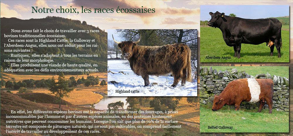 Three Scottish breeds of cattle : Highland Cattle, Belted Galloway, Aberdeen-Angus